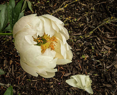 Photograph - White Peony Death by Jean Noren