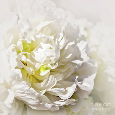 Photograph - White Peony by Delphimages Photo Creations