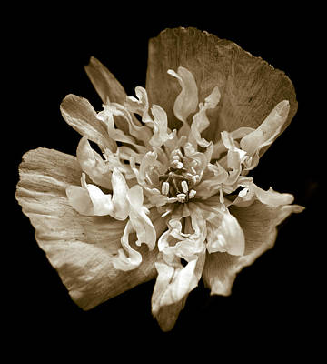 Botanic Photograph - White Peony Flowered Opium Poppy by Frank Tschakert