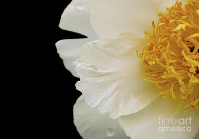 Photograph - White Peony Halved by Rachel Cohen