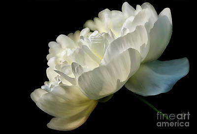 Photograph - White Peony In The Light by Lois Bryan