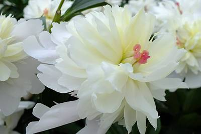 From The Kitchen - Festiva Maxima Double Peony - Center by Cindy Treger