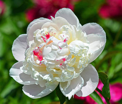 Photograph - White Peony by Rodney Campbell