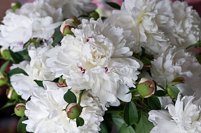 Photograph - White Peony With Red Traces by Michael Bessler