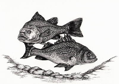 Fish Underwater Drawing - White Perch by Kathleen Kelly Thompson