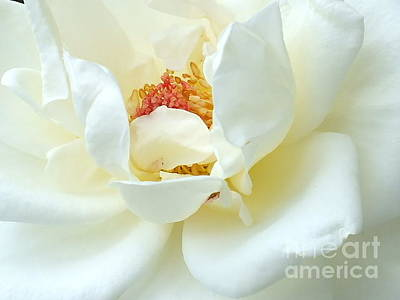 Kids Cartoons - White Perfection - Rose by Cindy Treger