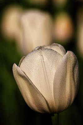 Photograph - White Petal Classic by Craig Strand