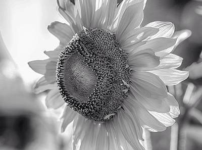 Flower Ers Photograph - White Petal Sunflower by Lynn Hopwood