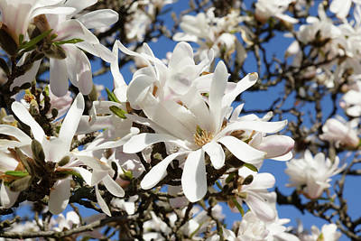 Photograph - White Petals Blue Sky by Cate Franklyn