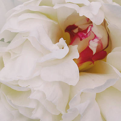 White Petals Art Print by Michael Peychich