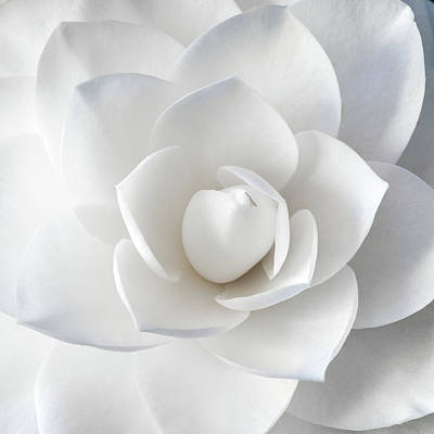 Photograph - White Petals by Paul Johnson