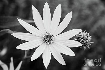 Photograph - White Petals by Sharon McConnell