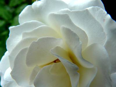 Photograph - White Petals by Valerie Ornstein