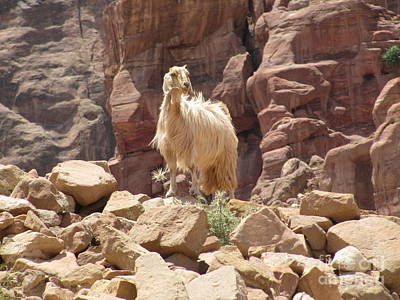 Photograph - White Petra Goat by Donna L Munro
