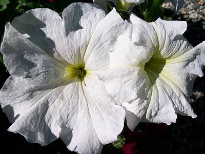 Photograph - White Petunia by Sharon Duguay
