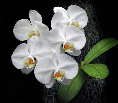 Photograph - White Phalaenopsis by Dave Mills