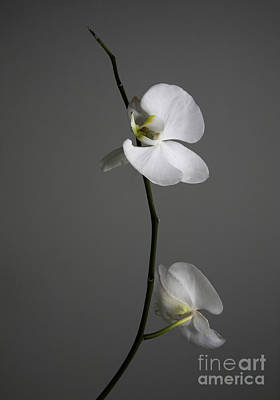 Photograph - White Phalaenopsis Orchid by Diane Diederich