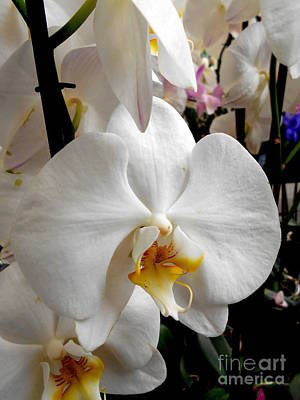 Photograph - White Phalaenopsis Orchid by Erika H