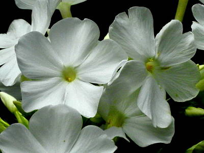 Photograph - White Phlox by Betty-Anne McDonald