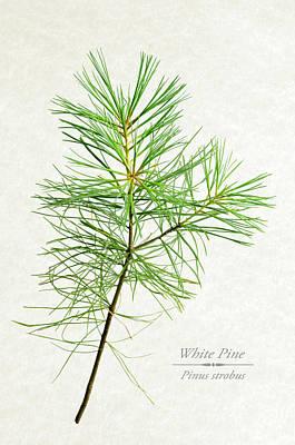 Mixed Media - White Pine by Christina Rollo