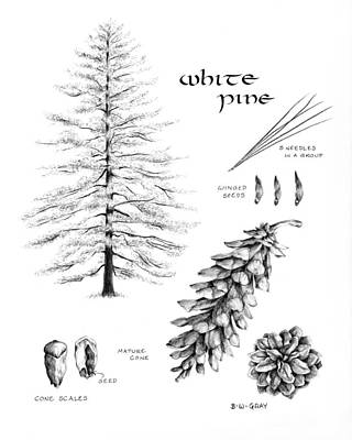 Pine Needles Drawing - White Pine Study by Betsy Gray