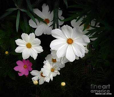 Photograph - White/pink Cosmos by Marcia Lee Jones
