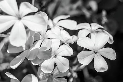 Photograph - White Plumbago  by Leticia Latocki