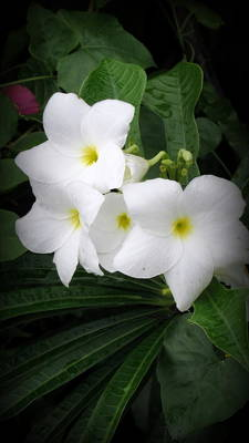 Photograph - White Plumerias by Kay Novy