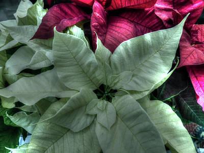 Photograph - White Poinsettia by Leslie Montgomery