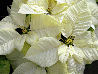 Photograph - White Poinsettias by Ellen Henneke