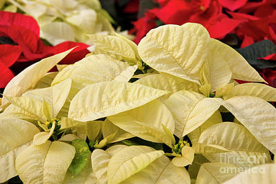 Photograph - White Poinsettias by Jill Lang
