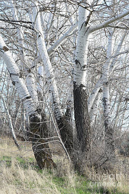 Photograph - White Poplar Grove by Carol Groenen