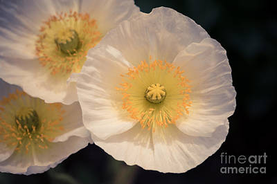 Photograph - White Poppies by Ana V Ramirez