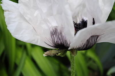 Photograph - White Poppy by Jim Brage