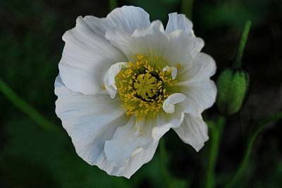 Photograph - White Poppy by Marilynne Bull