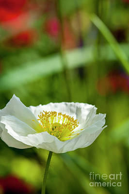 Photograph - White Poppy Stem Yellow Center by David Zanzinger