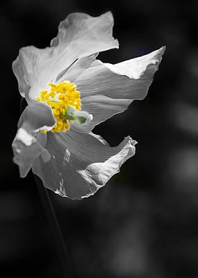 White Poppy Art Print by Svetlana Sewell