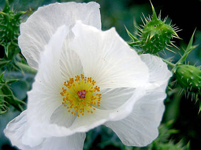 Photograph - White Prickly Poppy by Adam Johnson