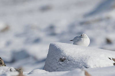 Photograph - White Ptarmigan by Peter Walkden