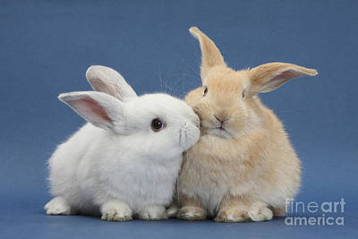 Rabbit Photograph - White Rabbit And Sandy Rabbit by Mark Taylor