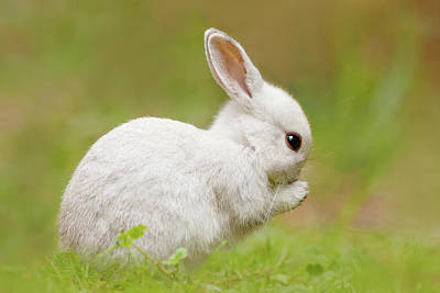 Foraging Photograph - White Rabbit - Cute Overload by Roeselien Raimond
