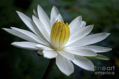 Photograph - White Radial Bloom  by Kerryn Madsen-Pietsch
