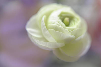 Photograph - White Ranunculus Bud by Jenny Rainbow