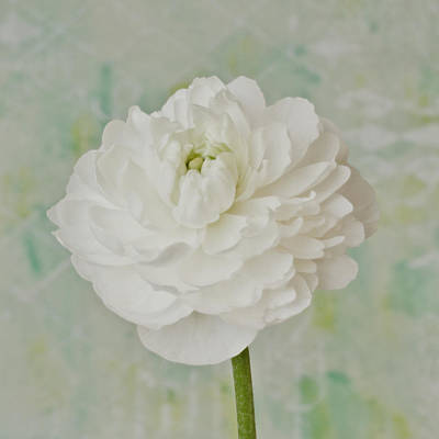 Photograph - White Ranunculus by Sandra Foster