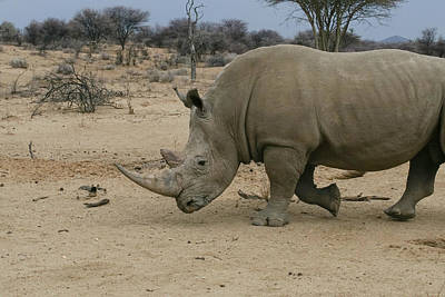 Photograph - White Rhino 6 by Ernie Echols