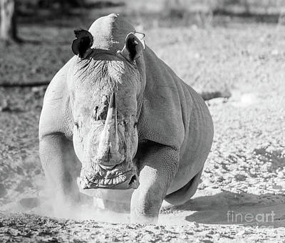 Photograph - White Rhino Black And White by Tim Hester