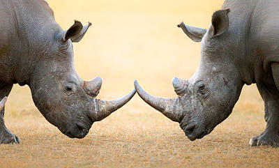 Two Photograph - White Rhinoceros  Head To Head by Johan Swanepoel