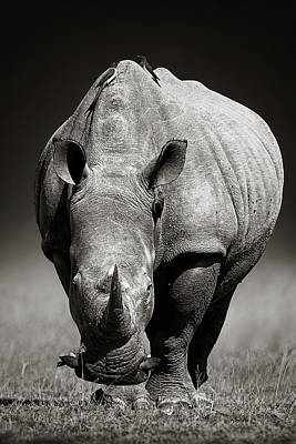 Birds Royalty-Free and Rights-Managed Images - White Rhinoceros  in due-tone by Johan Swanepoel