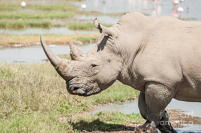 1-war Is Hell Royalty Free Images - White Rhinoceros Royalty-Free Image by Jacques Jacobsz