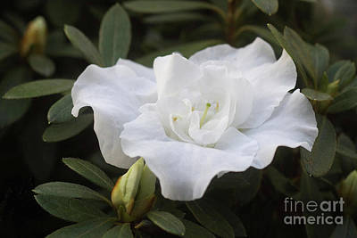 Photograph - White Rhododendron 1 by Rudi Prott